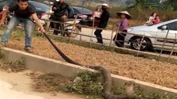Nguồn gốc bất ngờ của hổ mang chúa khủng vừa sa lưới