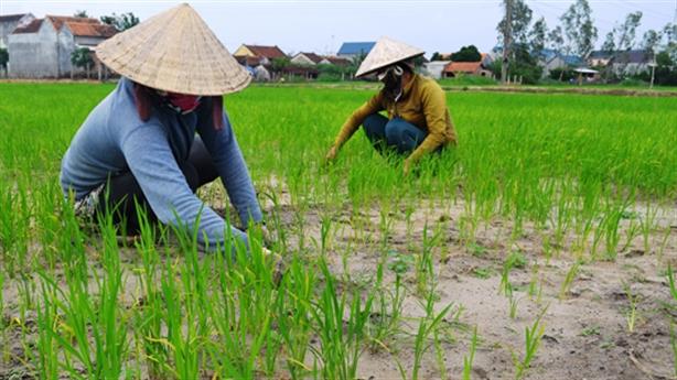 Dân bỏ lúa trồng sen: Bài học ốc bươu vàng lặp lại
