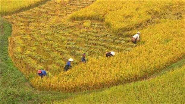 Ồ ạt trồng nếp xuất khẩu sang Trung Quốc: Rủi ro