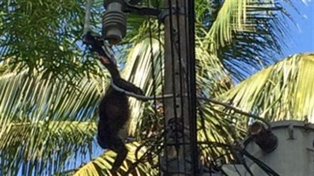 Khỉ mẹ xả thân bảo vệ con, bị điện giật chết