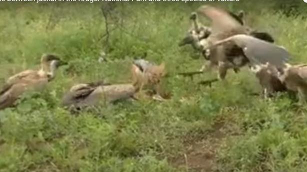 Chó rừng bị cướp miếng mồi, chiến đấu 10 con kền kền