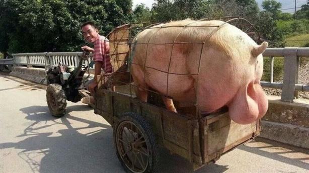 Một xã 600 người hoạn lợn: Buồn ba vui một