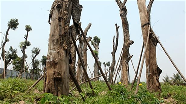 Loạt cây cổ Hà Nội khô héo tại vườn ươm: Dễ hiểu!