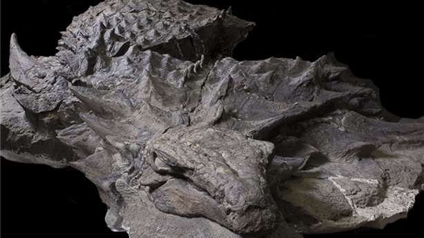 Hóa thạch 'rồng ngủ' nguyên vẹn hiếm có ở Canada