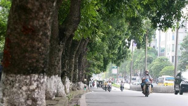 Hà Nội khẳng định muốn bảo tồn xà cừ