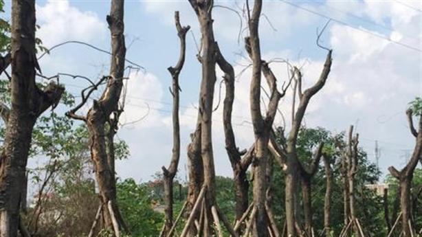 Xà cừ Hà Nội chết khô sau di dời: Cảnh báo nóng