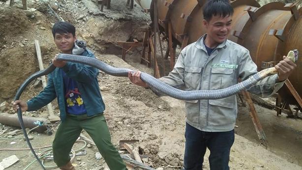Hô hoán dùng gậy, gộc bắt hổ mang chúa dài 3 mét