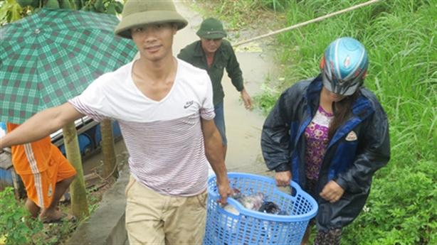 Trăm tấn cá lồng sông Đà sặc nước chết: Lỗi tại dân?