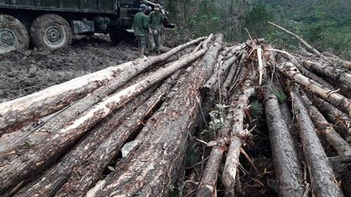 Chặt rừng thông 30 năm trồng mắc ca: Kinh doanh mạo hiểm!