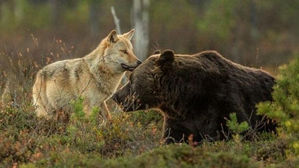 Kỳ lạ tình bạn thân thiết của gấu nâu và sói xám