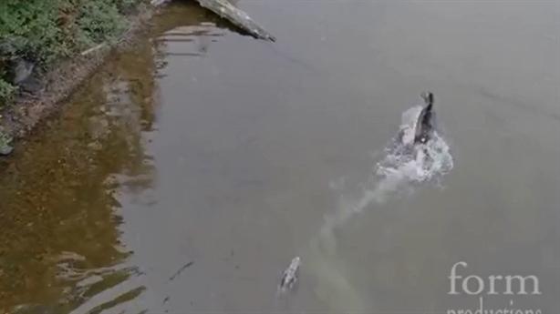 Sói truy sát nai dưới nước gây tranh cãi