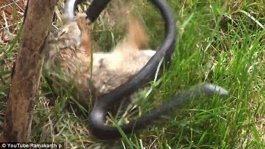 Thỏ mẹ điên cuồng cắn xé rắn độc trả thù cho con