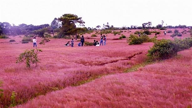 Gia Lai: Xin phá đồi thông, đồi cỏ hồng làm sân golf
