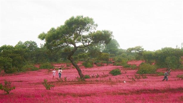 Phá rừng thông, đồi cỏ hồng làm sân golf: Quy hoạch rồi?