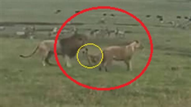 Chó con nổi điên một mình tấn công 2 sư tử