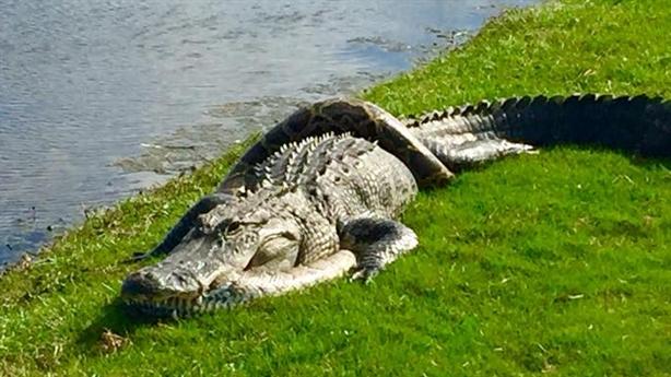 Cá sấu khổng lồ khốn khổ bị trăn miến điện trói chặt