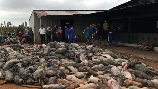 Chập điện, 1.200 con lợn chết cháy: Chủ trang trại nói gì?