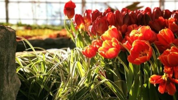 Ra mắt lễ hội tulip tại Vinpearl Nha Trang