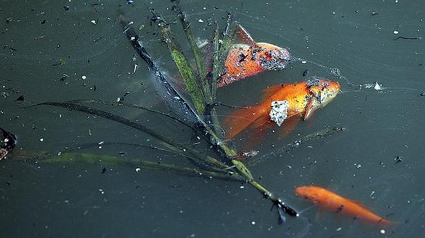Cá chép đột tử khi vừa phóng sinh xuống sông Tô Lịch