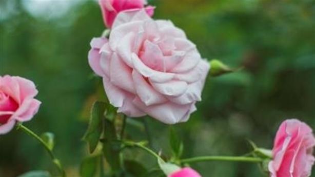 Say đắm vạn đóa hồng tại vườn yêu của Vinpearl Nha Trang