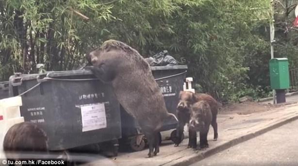 Lợn rừng khổng lồ lục lọi thức ăn gần trường học