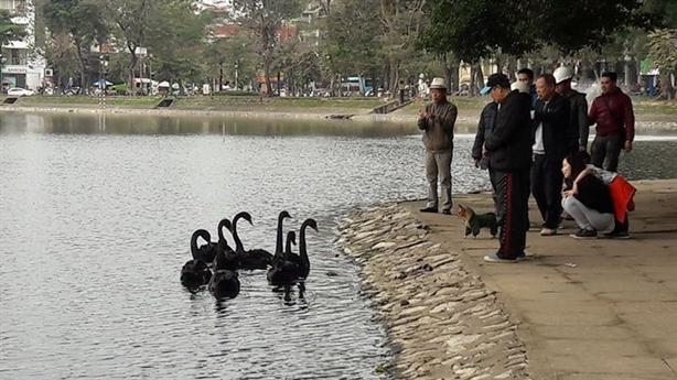 Thiên nga 'tị nạn' hồ Thiền Quang: Sống vui khỏe