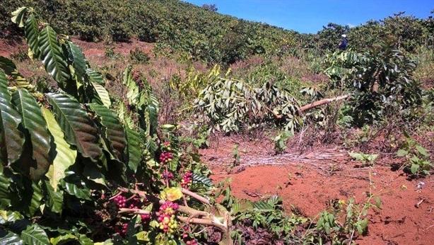 Vườn cà phê ra hoa bị phá: Nói nhỏ, thưởng 10 triệu