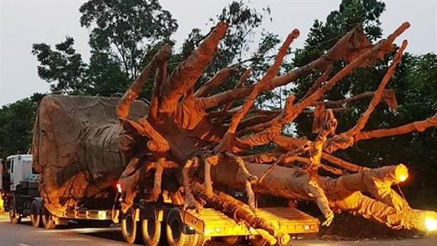 Xe chở cây quái thú bị chặn ở Thừa Thiên Huế