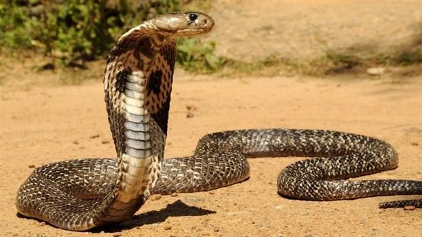 Chuyên gia bắt rắn bị hổ chúa cắn tử vong