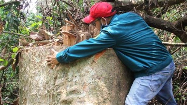 Quảng Nam quyết tâm, nạn phá rừng có được dẹp?