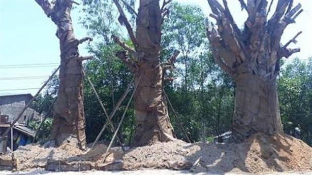 Cây quái thú bên đường: Bí mật trồng 'chui' cứu cụ cây