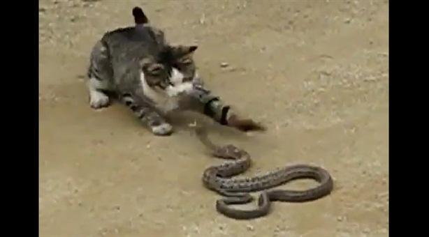 Mèo tử chiến với rắn độc bảo vệ chủ