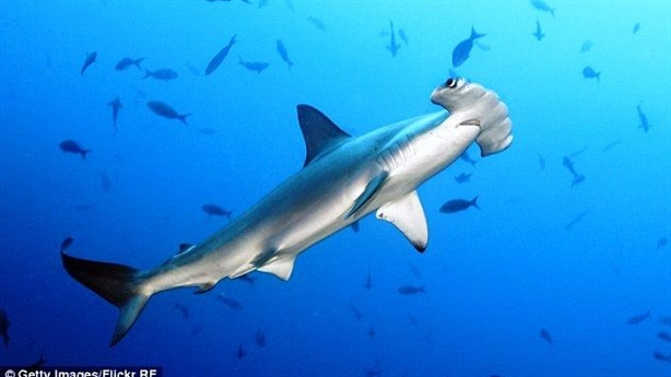 Clip cá mập săn mồi điên loạn dưới thuyền du khách