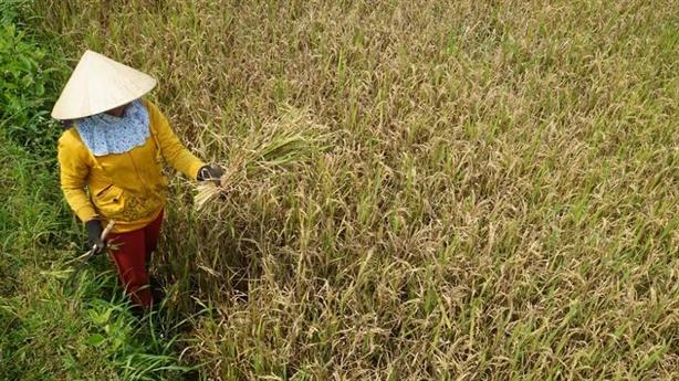 Dân khóc vì 21,7 tấn lúa giống rởm: Bất ngờ lời khai