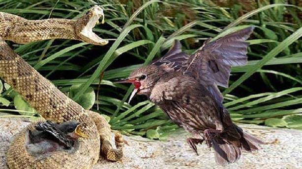 Chim mẹ đau đớn tấn công rắn độc đang nuốt con