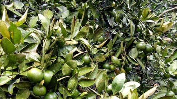300 gốc cam bị phun thuốc diệt cỏ: 'Không nghi ai'