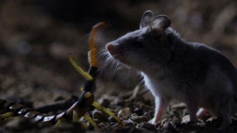 Rết khổng lồ giết chuột trong nháy mắt