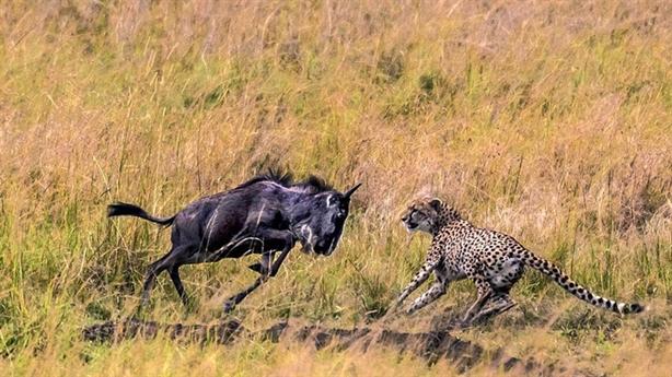 Linh dương đầu bò đánh cho đàn báo đốm chạy tan tác