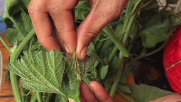 Cách nhận biết rau bí không hóa chất