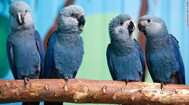 Loài vẹt nổi tiếng trong phim Rio chính thức tuyệt chủng