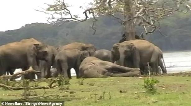 300 chú voi xót thương, đi vĩnh biệt thủ lĩnh qua đời