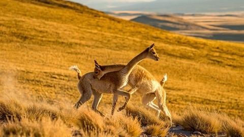 Ảnh hiếm cuộc chiến khốc liệt của lạc đà đẹp nhất
