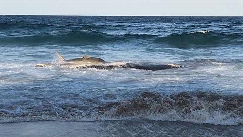 Cá mập suýt mắc cạn vì tham ăn xác cá voi