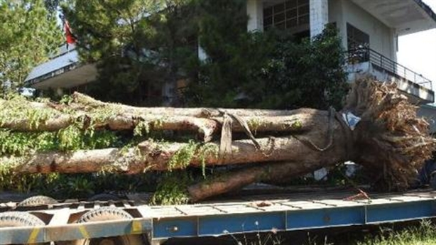 Trộm gỗ quý giáng hương: Tạm ứng tiền chăm cây