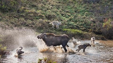 Nai sừng tấm hỗn chiến, bất lực nhìn sói ăn thịt con