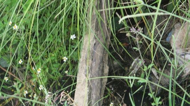 Hy hữu: Bò ngã trượt chân, lộ kênh bê tông cốt... cây