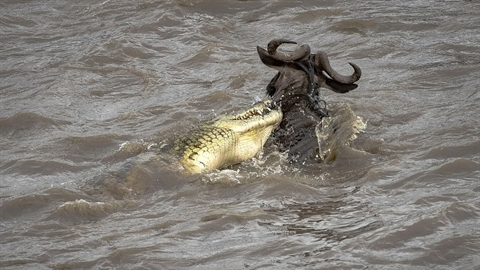 Cá sấu cắn trượt, linh dương đầu bò thoát chết