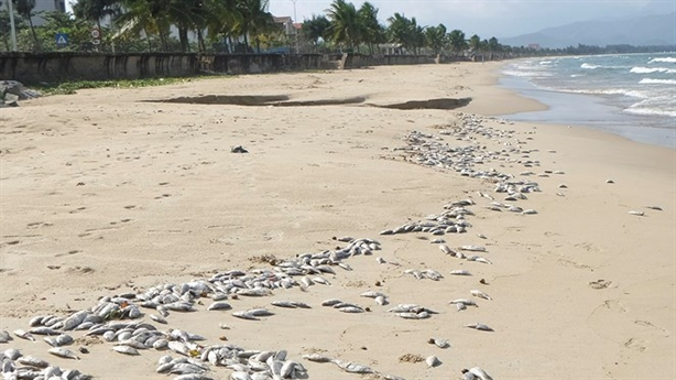 Cá chết hàng loạt dạt bờ biển Đà Nẵng do nổ mìn?