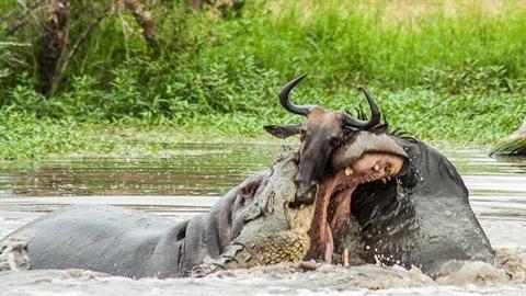 Hà mã nổi cáu giúp cá sấu thịt linh dương đầu bò