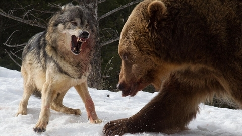 Liều mình đánh lại gấu, đàn sói nhận cái kết đắng